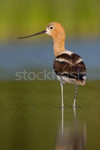 élevage plumage permanent eau soft Photo stock © raptorcaptor