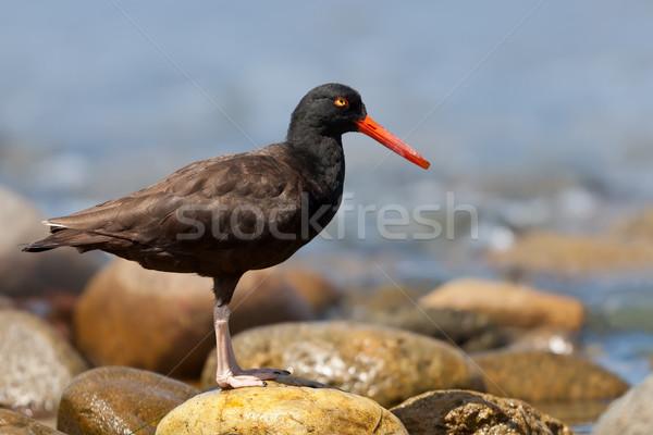 Negro pie rock aves Foto stock © raptorcaptor