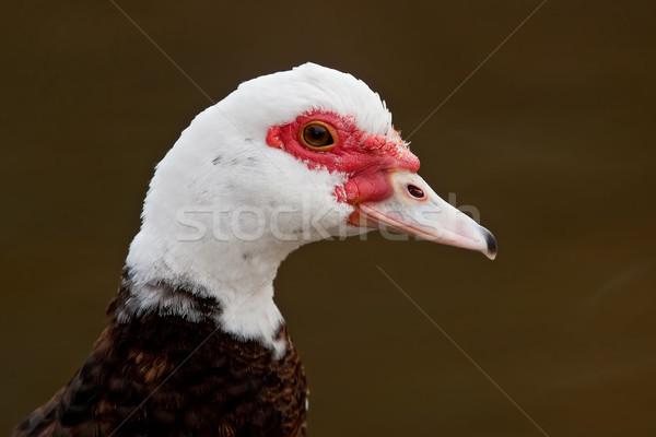 Eend portret donkere bruin Stockfoto © raptorcaptor