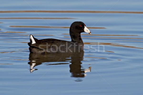 Amerikan yüzme mavi su gölet Stok fotoğraf © raptorcaptor
