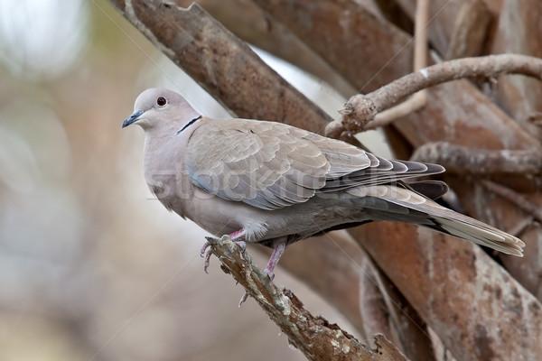 Dove drzewo limb Zdjęcia stock © raptorcaptor