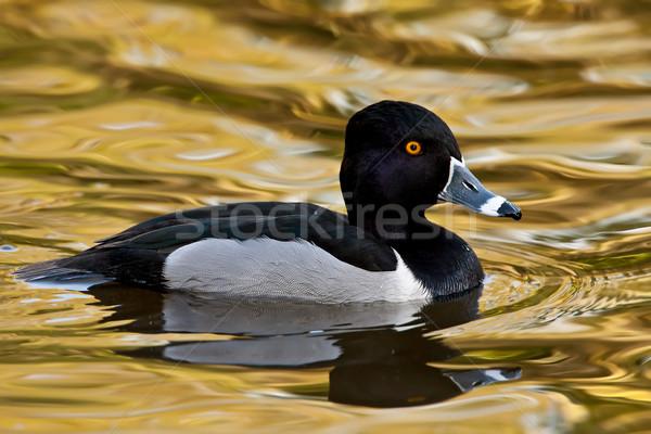 Ring-necked Duck (Aythya collaris) Stock photo © raptorcaptor