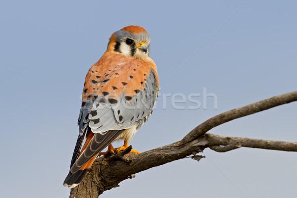 Amerikan yetişkin erkek doğa kuş şube Stok fotoğraf © raptorcaptor