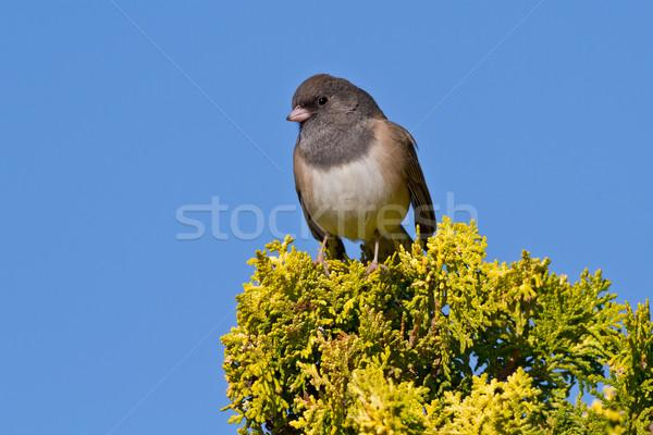 Stok fotoğraf: Küçük · çalı · kuş · yaban · hayatı