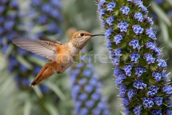 Colibrì orgoglio madeira fiori Foto d'archivio © raptorcaptor