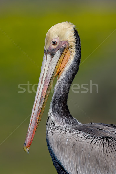 Brown Pelican (Pelecanus occidentalis) Stock photo © raptorcaptor