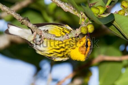 Masculina comer pequeño naturaleza aves fauna Foto stock © raptorcaptor
