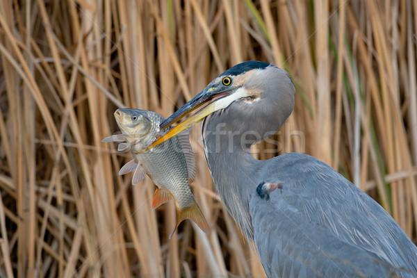 Azul garza adulto grande peces Foto stock © raptorcaptor