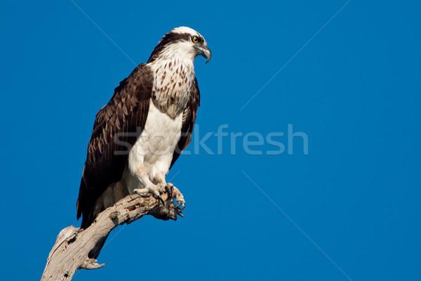 Tak solide blauwe hemel Stockfoto © raptorcaptor