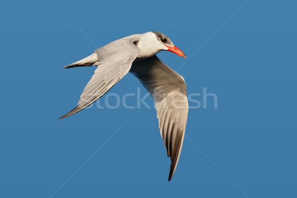 Stok fotoğraf: Uçan · mavi · gökyüzü · kuş · mavi