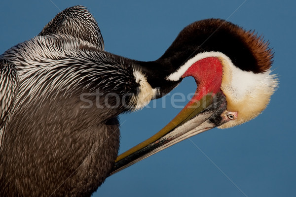 Brown Pelican Preening (Pelecanus occidentalis) Stock photo © raptorcaptor