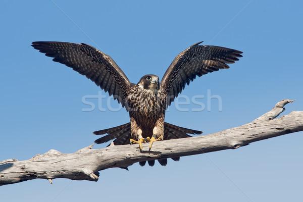 Falcão árvore membro asas Foto stock © raptorcaptor