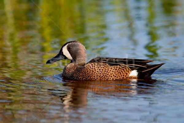 スイミング 水 鳥 ストックフォト © raptorcaptor