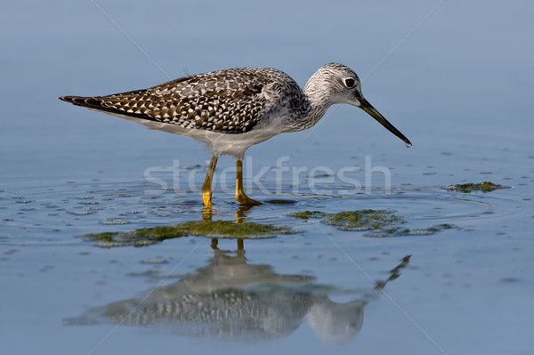 Greater Yellowlegs (Tringa melanoleuca) Stock photo © raptorcaptor