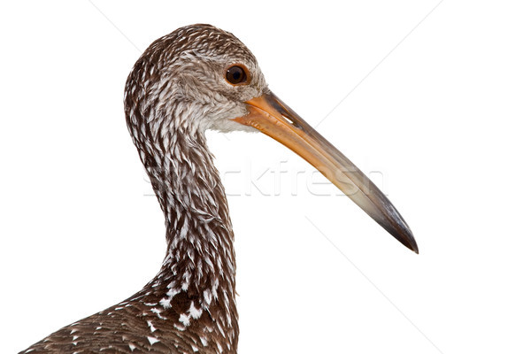 Limpkin (Aramus guarauna) Stock photo © raptorcaptor