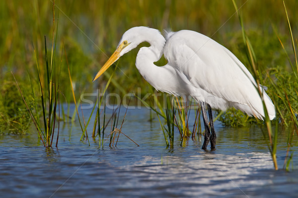 Great Egret (Ardea alba) Stock photo © raptorcaptor