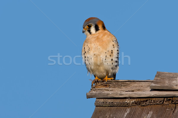 American Kestrel (Falco sparverius) Stock photo © raptorcaptor