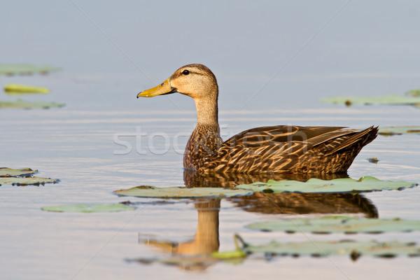 Mottled Duck (Anas Fulvigula) Stock photo © raptorcaptor