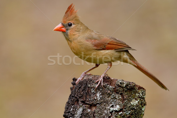 Northern Cardinal (Cardinalis Cardinalis) Stock photo © raptorcaptor