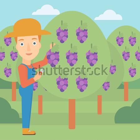 Farmer collecting grapes. Stock photo © RAStudio