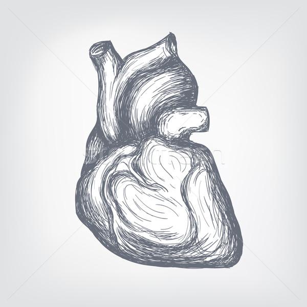 Human  Heart Stock photo © RAStudio