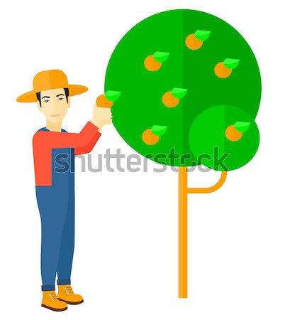 Farmer collecting oranges. Stock photo © RAStudio