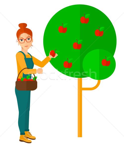 Farmer collecting apples. Stock photo © RAStudio