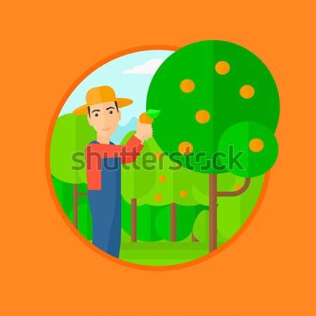 Farmer collecting oranges vector illustration. Stock photo © RAStudio