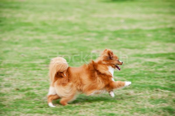 Pomeranian dog running Stock photo © raywoo