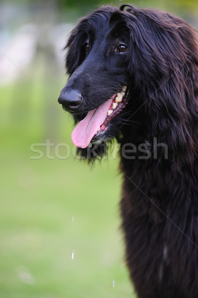 Black afghan hound dog Stock photo © raywoo