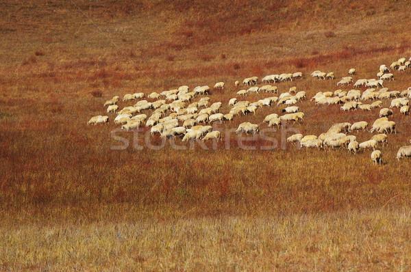 Sheep in grassland Stock photo © raywoo