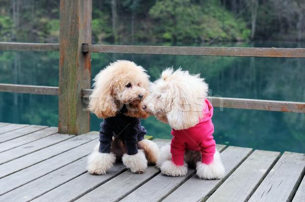 два пудель собака Постоянный дороги Сток-фото © raywoo