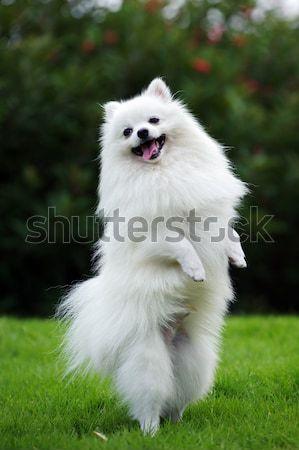 White pomeranian dog Stock photo © raywoo