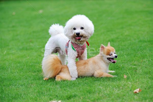 Bichon Frise and Pomeranian dogs Stock photo © raywoo