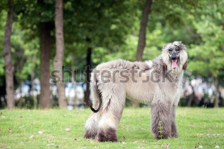 гончая собака ходьбе газона зеленый белый Сток-фото © raywoo