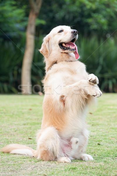 Golden retriever dog Stock photo © raywoo