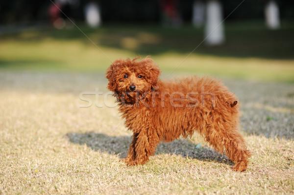 пудель собака Постоянный газона трава парка Сток-фото © raywoo