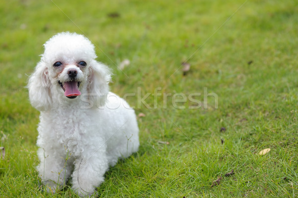 Toy poodle dog Stock photo © raywoo