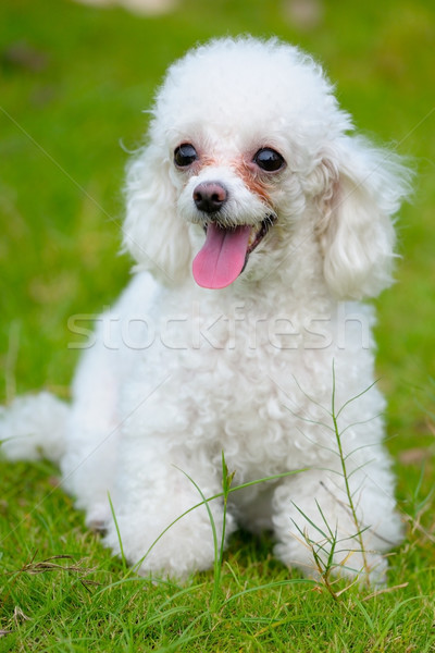 Jouet caniche chien peu permanent pelouse Photo stock © raywoo