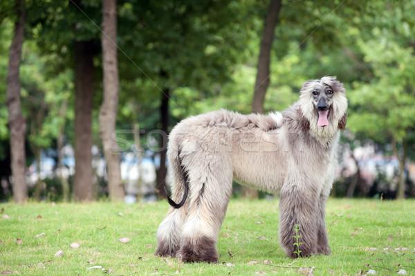 гончая собака Постоянный газона зеленый парка Сток-фото © raywoo
