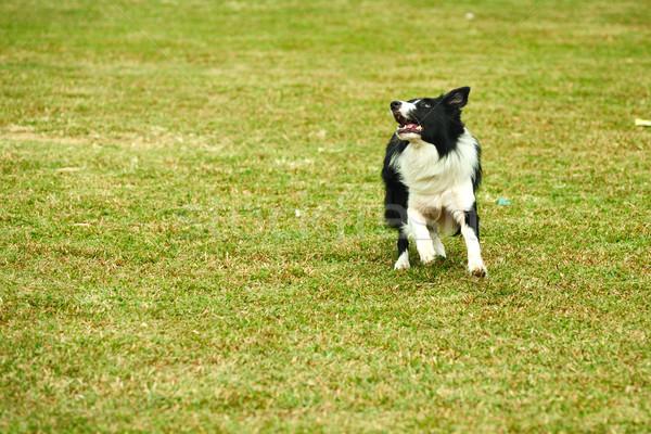 Border collie cane esecuzione prato erba eseguire Foto d'archivio © raywoo
