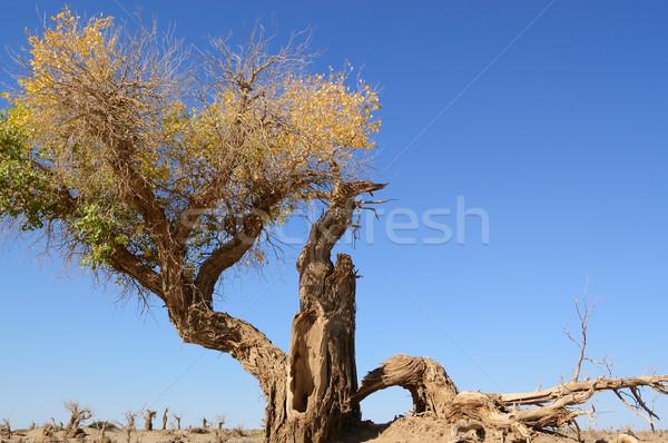 枯れ木 砂漠 中国 木材 森林 旅行 ストックフォト © raywoo