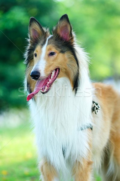 Collie rough dog Stock photo © raywoo