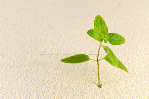 Plant on sands Stock photo © raywoo