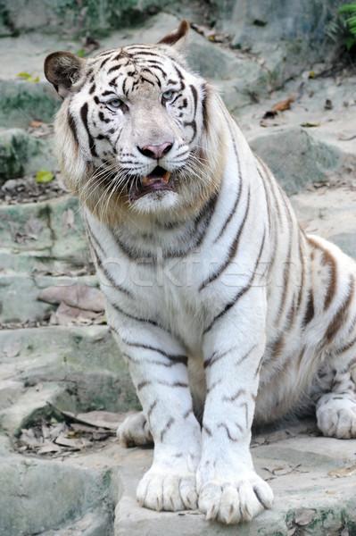 ストックフォト: 白 · 虎 · 動物園 · 電源 · 動物 · 危険