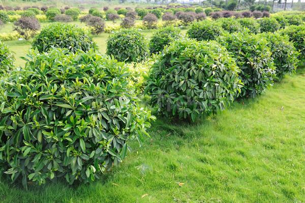 зеленый чай деревья области дерево трава лист Сток-фото © raywoo