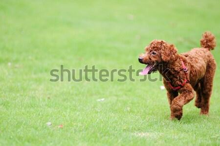 Stockfoto: Poedel · hond · lopen · bruin · gazon · groene
