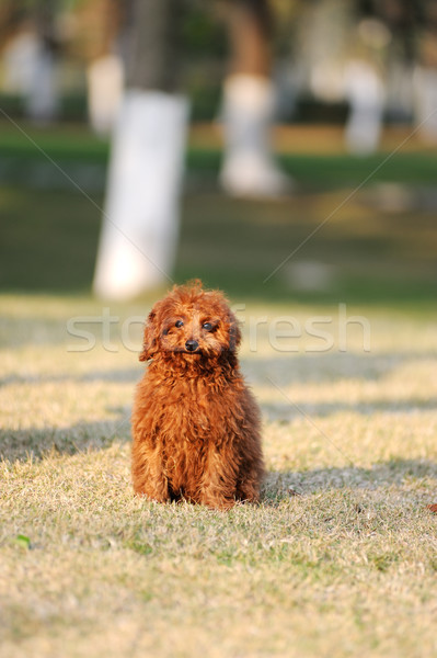 Rouge caniche chien permanent pelouse heureux Photo stock © raywoo