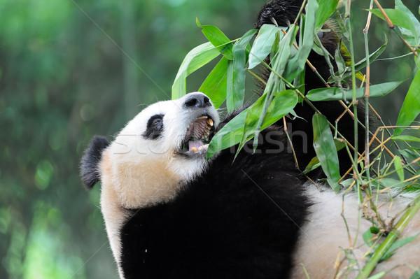 Giant panda Stock photo © raywoo