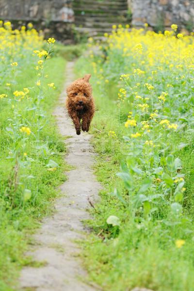 Kaniş köpek çalışma çiçek alan çiçekler Stok fotoğraf © raywoo